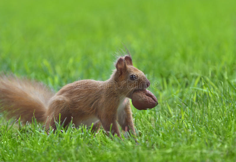 Download Red squirrel stock image. Image of nature, eating, rodent - 14560693