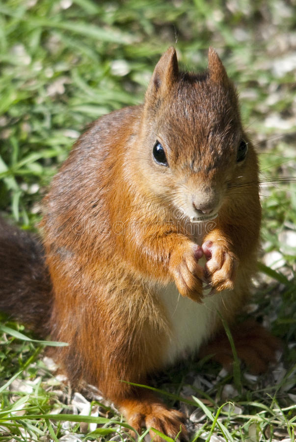 Free Red Squirrel Stock Image - 14795021
