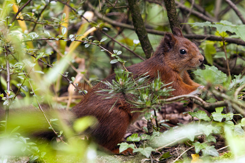 Download Red squirrel stock photo. Image of animal, mammal, cautious - 14948370