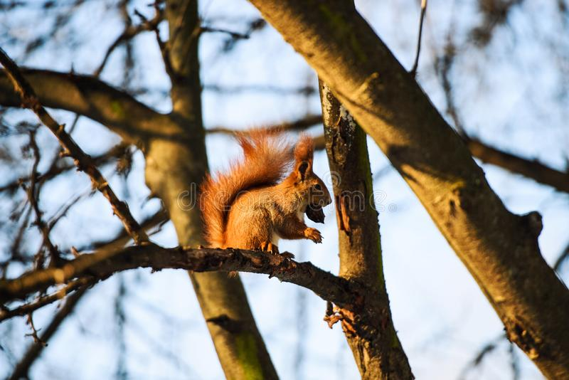 Red Squirrel. Adorable, animal, autumn, background, beauty, branch, brown, bushy, close, creature, curious, cute, eurasian, fall, fluffy, forest, funny, fur stock photo