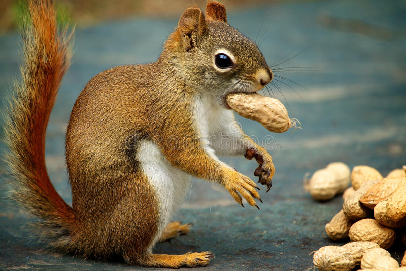 Red Squirrel. A Red Squirrel munches on a peanut