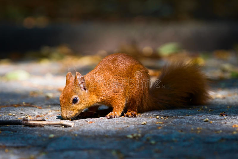 Download Red squirrel stock image. Image of cute, curiosity, life - 17343879