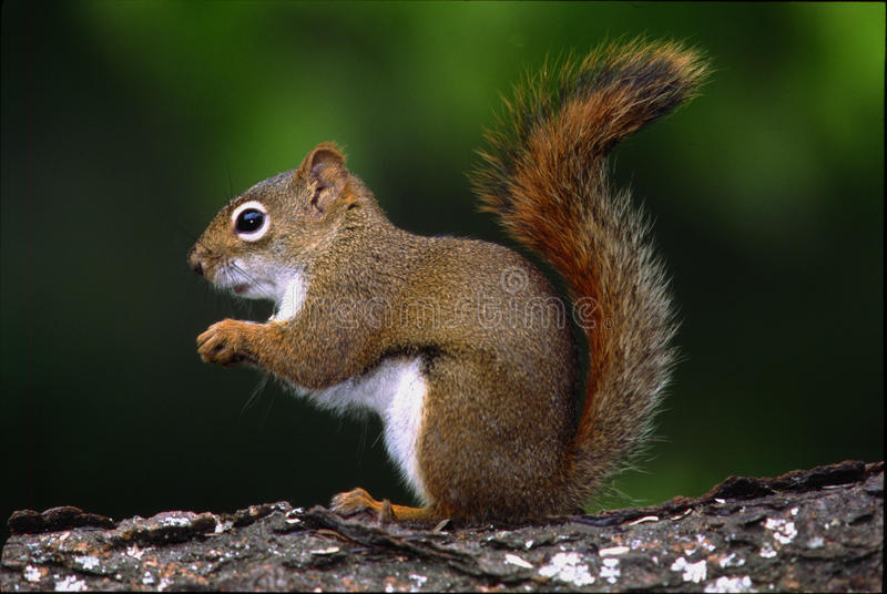 Red Squirrel - tamiasciurus hudsonicus. Red squirrel out foraging for food in the late evening royalty free stock photo