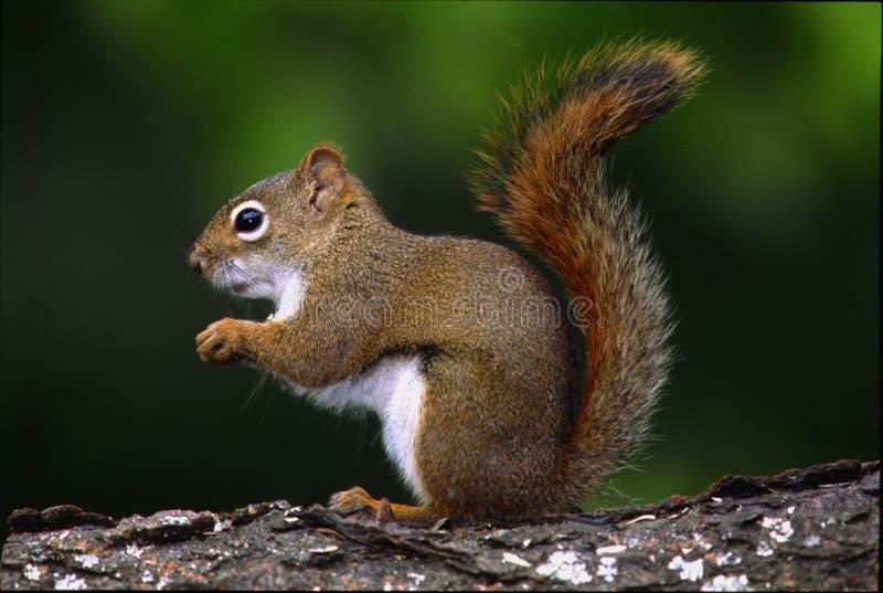 Red Squirrel - tamiasciurus hudsonicus royalty free stock photo