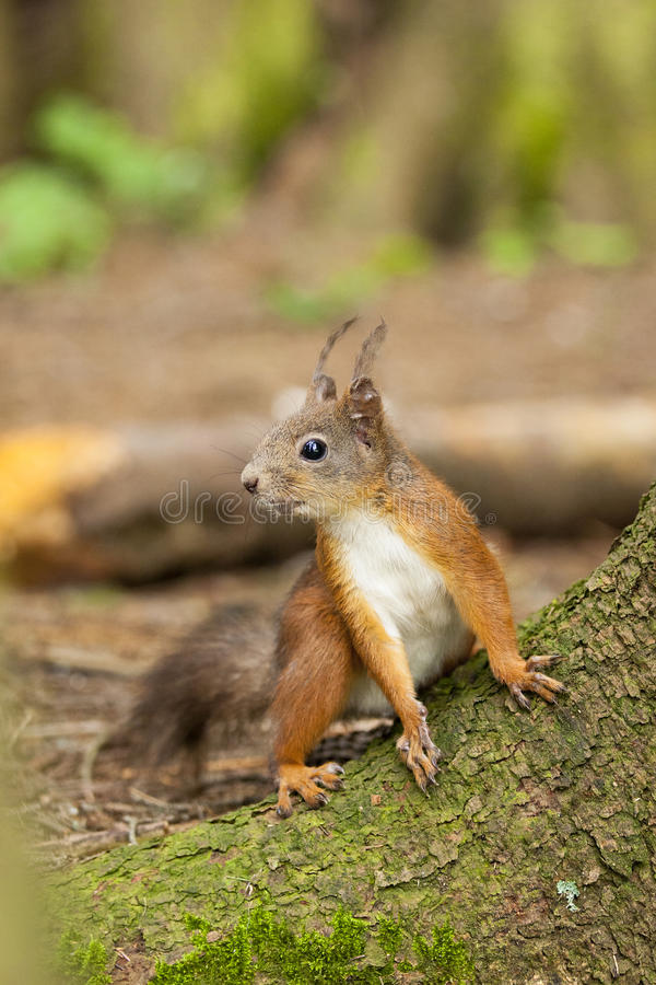 Download Red squirrel stock photo. Image of careful, small, discovered - 22951862