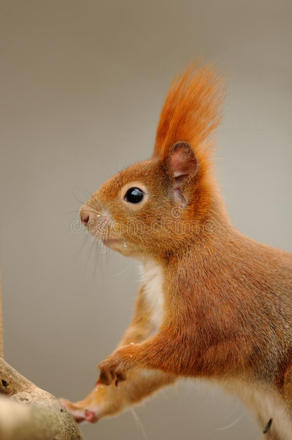 Red Squirrel. The Red Sqirrel is hanging on a tree stock image
