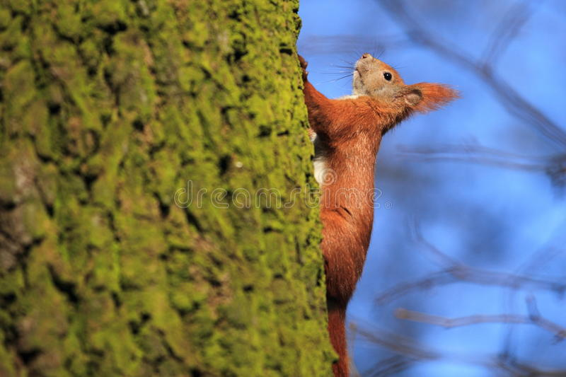 Download Red squirrel stock image. Image of eurasian, arboreal - 24028153
