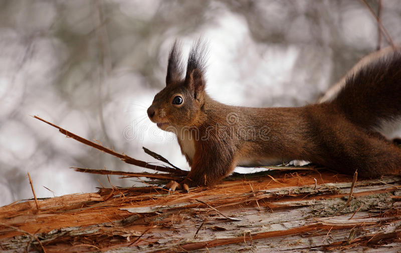 Download Red squirrel stock image. Image of grey, looking, creature - 26332953