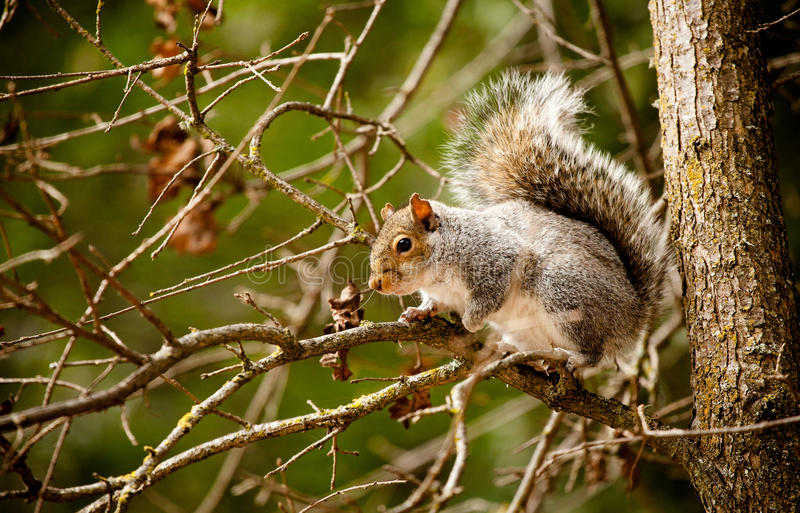 Red Squirrel. A red squirrel sitting on a tree limb royalty free stock photo