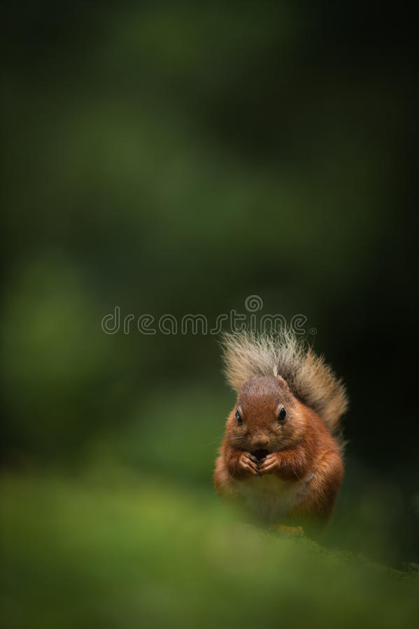 Download Red Squirrel stock image. Image of rust, squirrel, cute - 28603551
