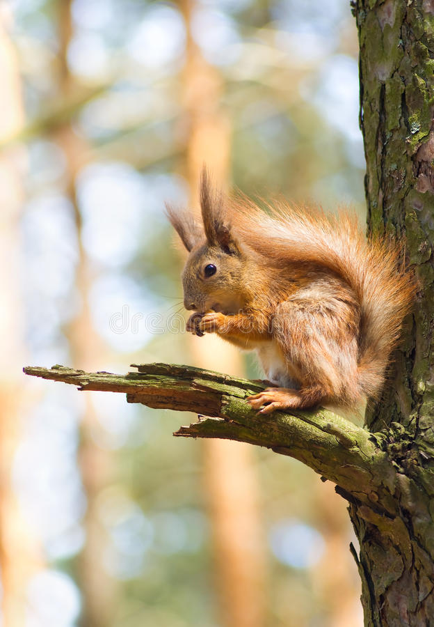 Download Red squirrel stock photo. Image of mossy, squirrel, tree - 29002772