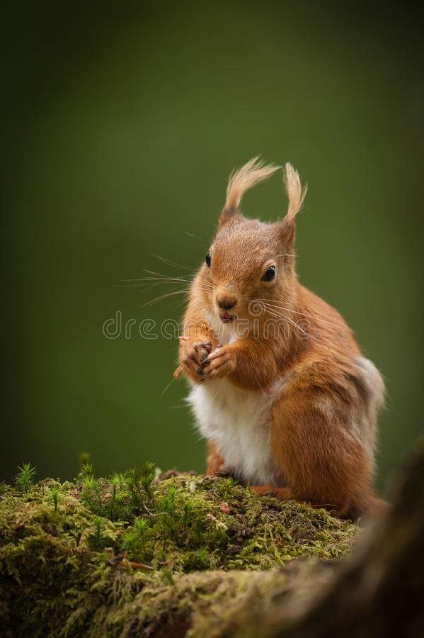 Free Red Squirrel Royalty Free Stock Photo - 29385145