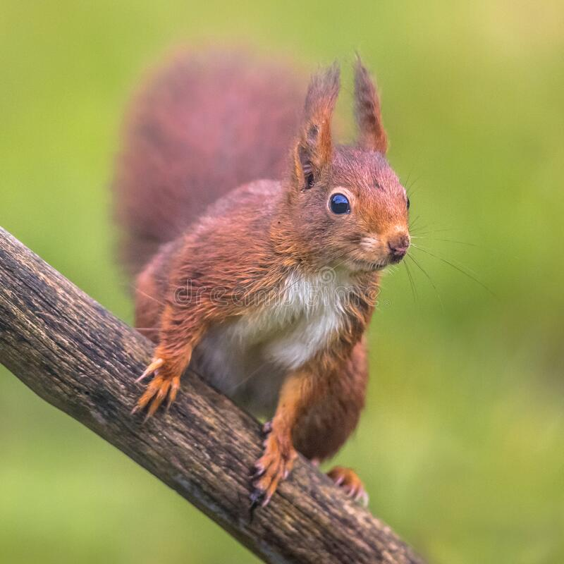 Free Red Squirrel Alert Royalty Free Stock Photos - 193770218