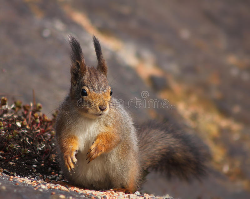 Red squirrel alert eating seeds royalty free stock image