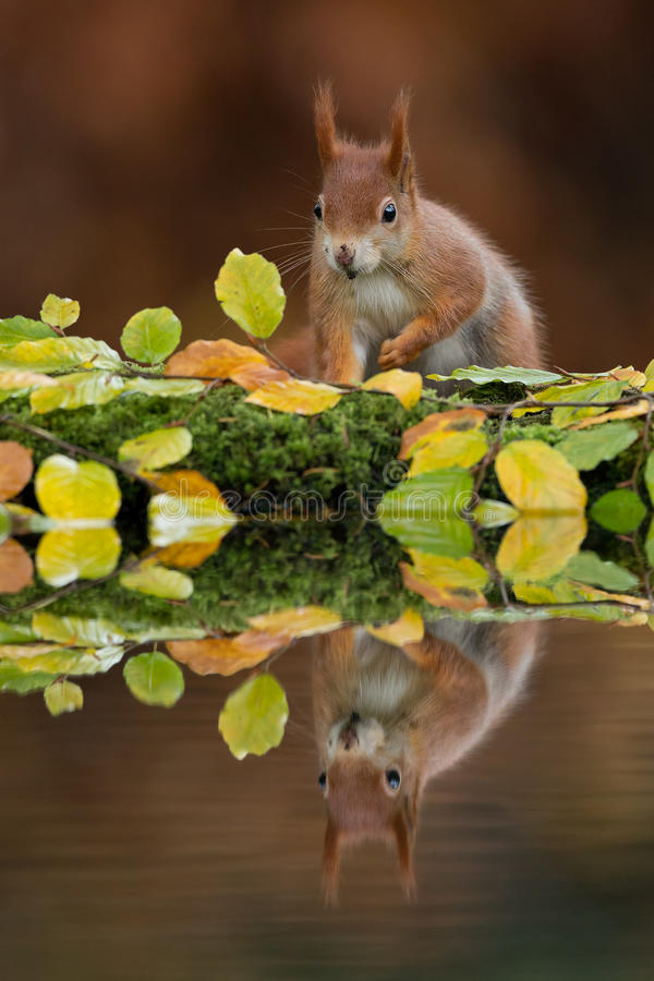 Red squirrel in the autumn royalty free stock photos
