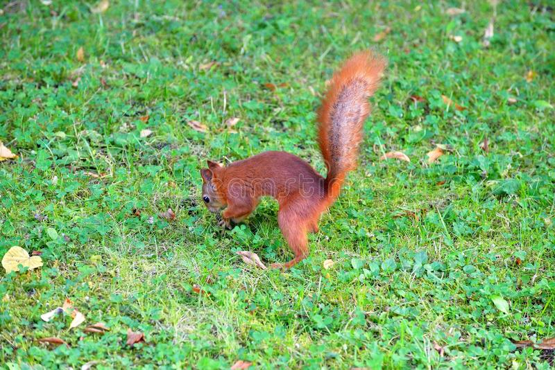 The red squirrel buries a nut in the ground in the Park. The red squirrel buries a nut in the ground in the Park royalty free stock photography