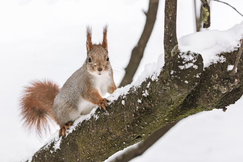 Red squirrel sitting on tree trunk in winter park covered with white snow stock photos