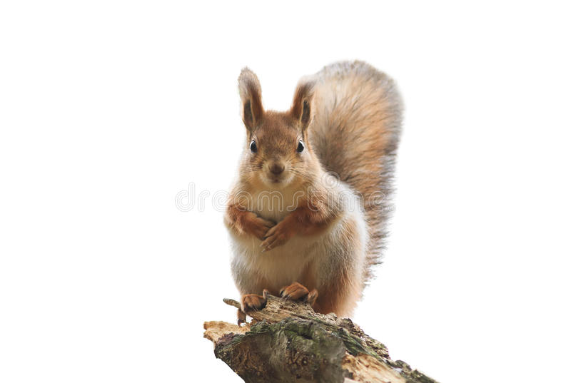 Red squirrel with bushy tail standing on white isolated background. Cute red squirrel with bushy tail standing on white isolated background royalty free stock image