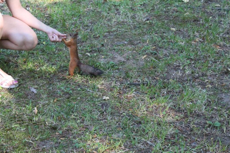 Red squirrel in a city green park. Beautiful creature, wild, outdoor, tail, nature, wildlife, mammal, cute, forest, animal, brown, tree, natural, small, fluffy royalty free stock photo