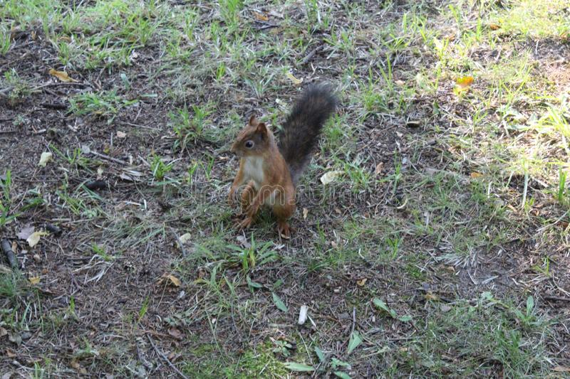 Red squirrel in a city green park. Beautiful creature, wild, outdoor, tail, nature, wildlife, mammal, cute, forest, animal, brown, tree, natural, small, fluffy royalty free stock photos