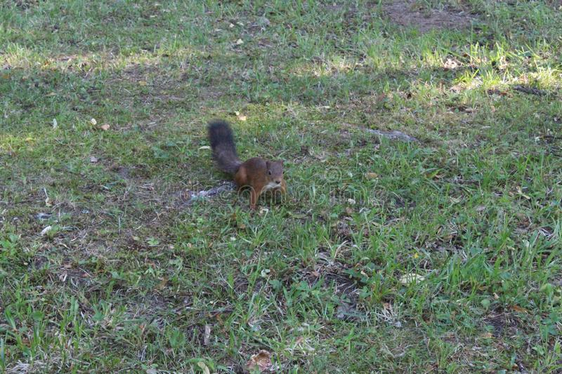Red squirrel in a city green park. Beautiful creature, wild, outdoor, tail, nature, wildlife, mammal, cute, forest, animal, brown, tree, natural, small, fluffy stock photo