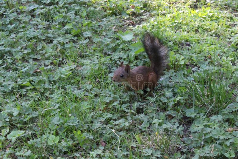 Red squirrel in a city green park. Beautiful creature, wild, outdoor, tail, nature, wildlife, mammal, cute, forest, animal, brown, tree, natural, small, fluffy stock photography