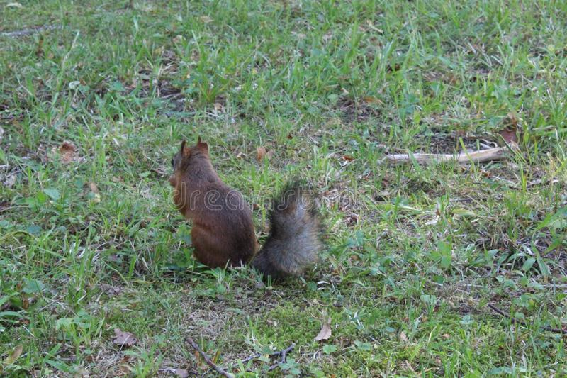 Red squirrel in a city green park. Beautiful creature, wild, outdoor, tail, nature, wildlife, mammal, cute, forest, animal, brown, tree, natural, small, fluffy royalty free stock image
