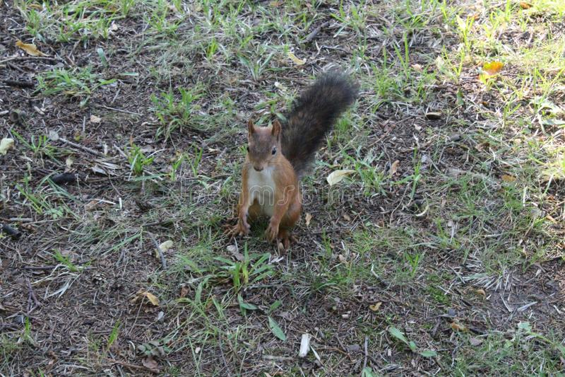Red squirrel in a city green park. Beautiful creature, wild, outdoor, tail, nature, wildlife, mammal, cute, forest, animal, brown, tree, natural, small, fluffy royalty free stock photography