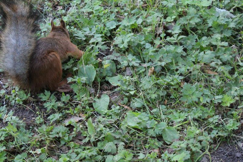 Red squirrel in a city green park. Beautiful creature, wild, outdoor, tail, nature, wildlife, mammal, cute, forest, animal, brown, tree, natural, small, fluffy royalty free stock images