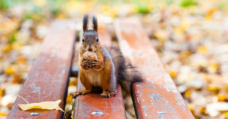 Red squirrel climbed on a wooden bench and stands on its hind legs and holds a walnut. Autumn leaves background. shallow. Depth of field royalty free stock photography