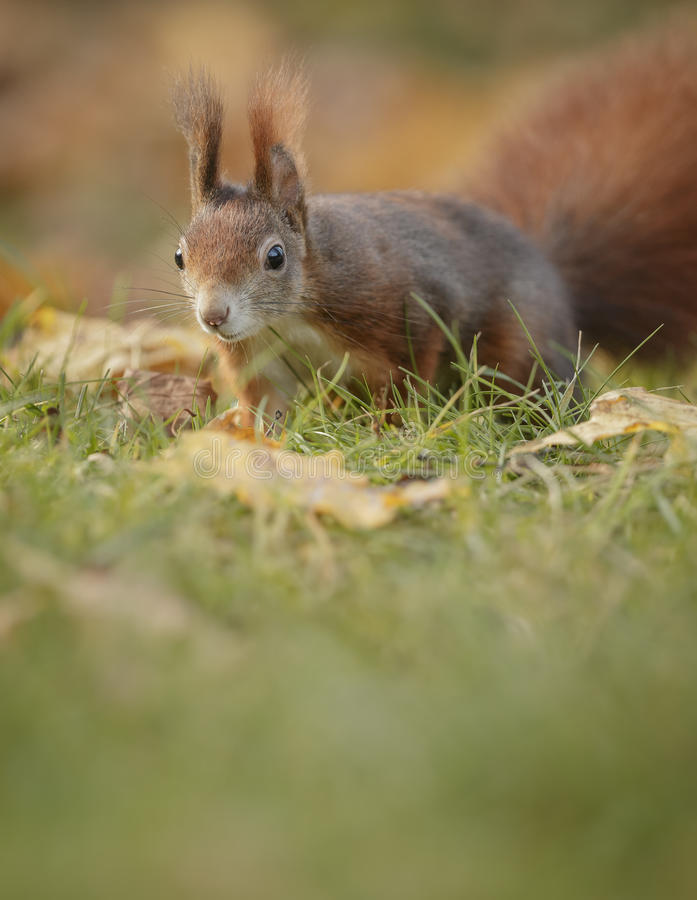 A red squirrel close up stock image