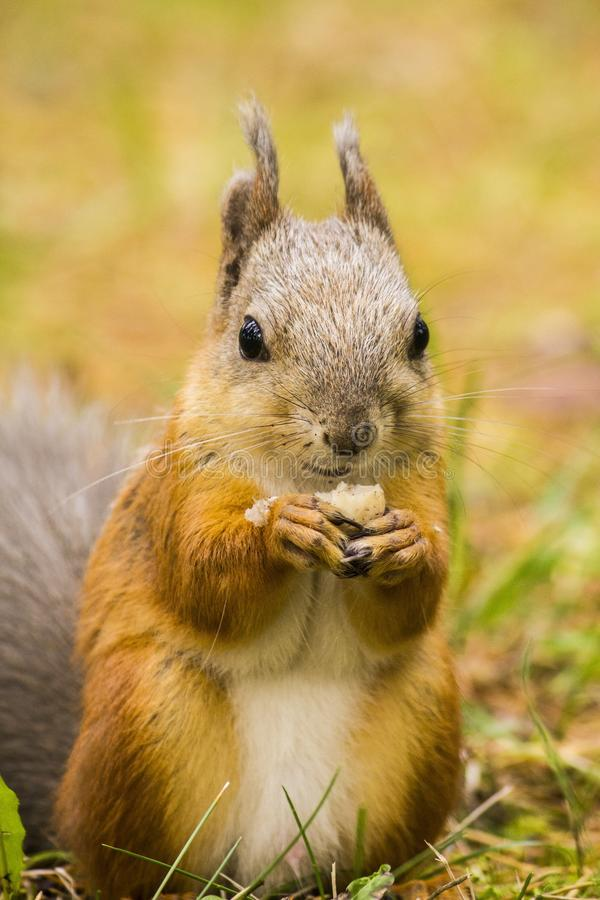 Red squirrel eating almond stock image