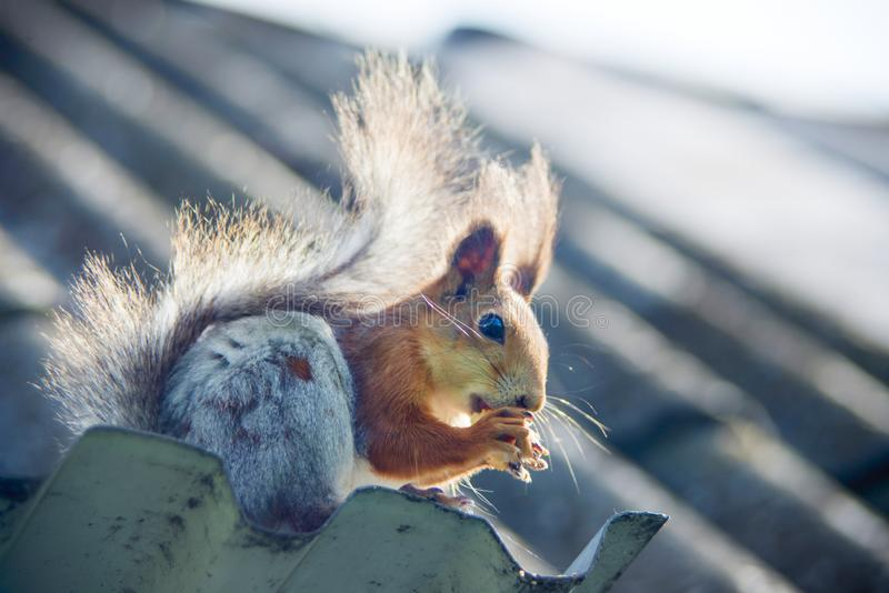 Red Squirrel eating nuts in autumn park. Cute squirrel in park eats nuts at sunny day stock image