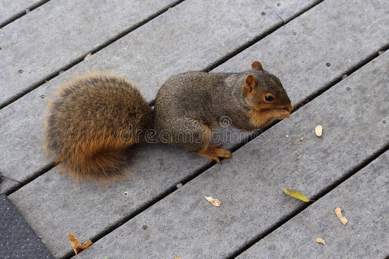 Red squirrel eating peanuts stock photography