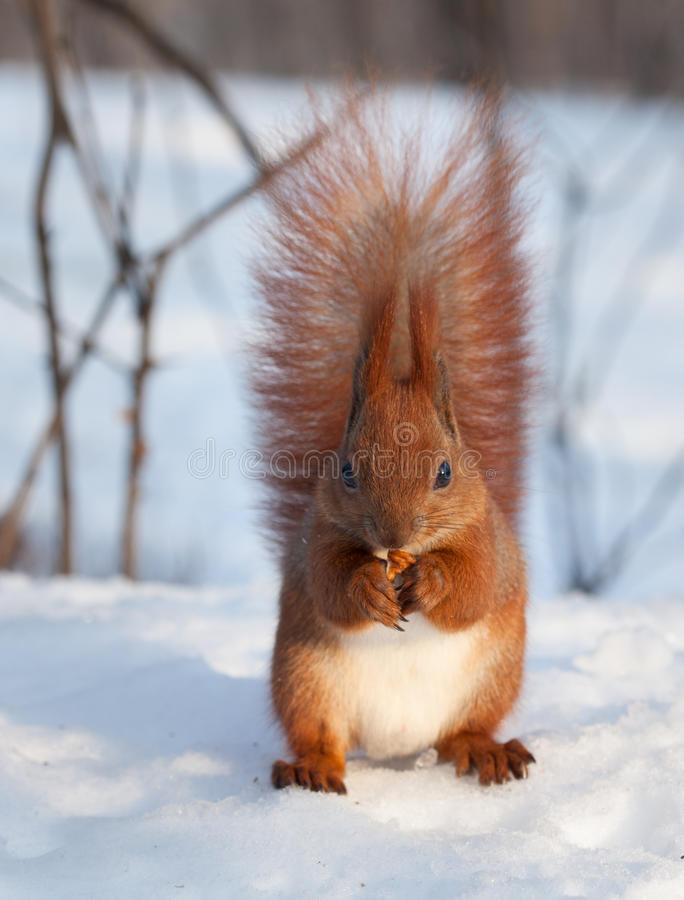 Red squirrel eating a walnut on snow. Beautiful european red squirrel Sciurus vulgaris eating a walnut on white snow between trees. Front view royalty free stock photography