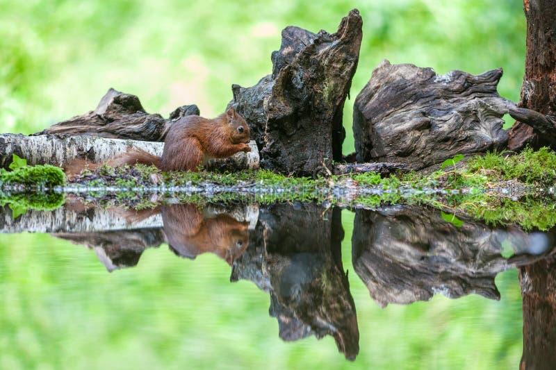Red Squirrel, Eekhoorn Stock Photography