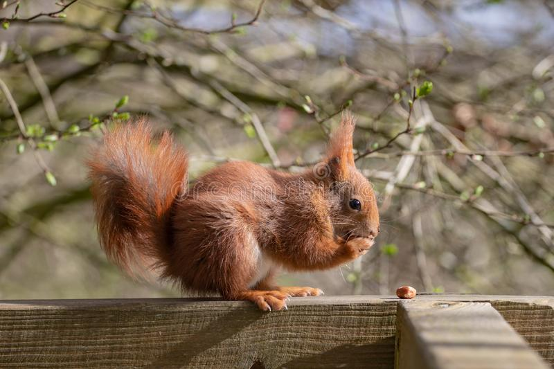 The red squirrel or Eurasian red squirrel. Sciurus vulgaris is a species of tree squirrel in the genus Sciurus common throughout Eurasia. The red squirrel is an royalty free stock photos
