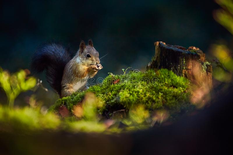 Red squirrel or Eurasian red squirrel Sciurus vulgaris, eating a walnut in the dark forrest. royalty free stock image
