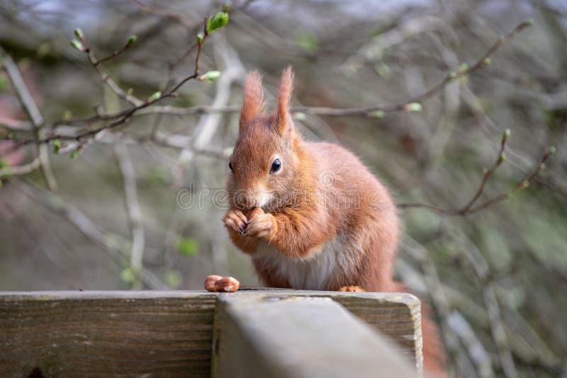 The Red Squirrel or Sciurus vulgaris. The red squirrel or Eurasian red squirrel Sciurus vulgaris is a species of tree squirrel in the genus Sciurus common stock photo