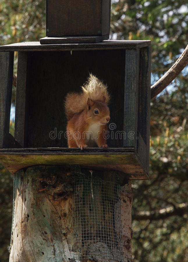 Download Red squirrel stock photo. Image of tail, rodent, fluffy - 31939662