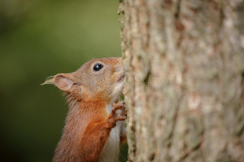 Red squirrel foraging royalty free stock photos
