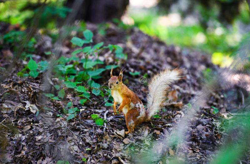 Red squirrel in the forest. Adorable, animal, autumn, background, beauty, brown, curious, cute, fluffy, funny, fur, furry, green, hair, isolated, looking stock photography