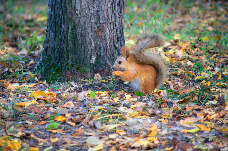 Red Squirrel in the forest eating a hazelnut stock photography