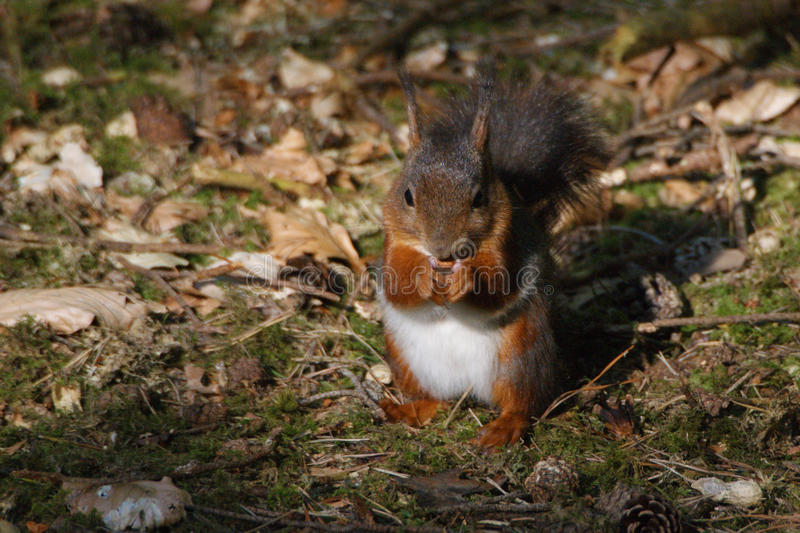 Red Squirrel. At Formby, Liverpool, UK royalty free stock photography