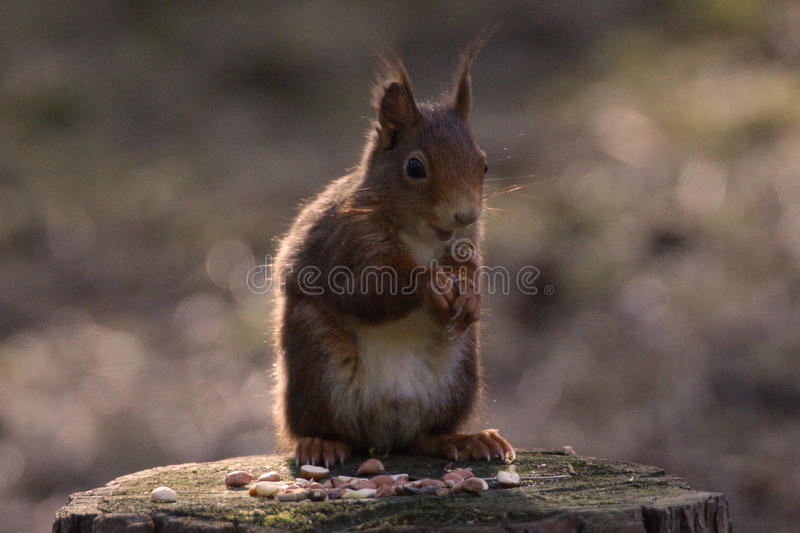 Red Squirrel. At Formby, Liverpool, UK stock photo