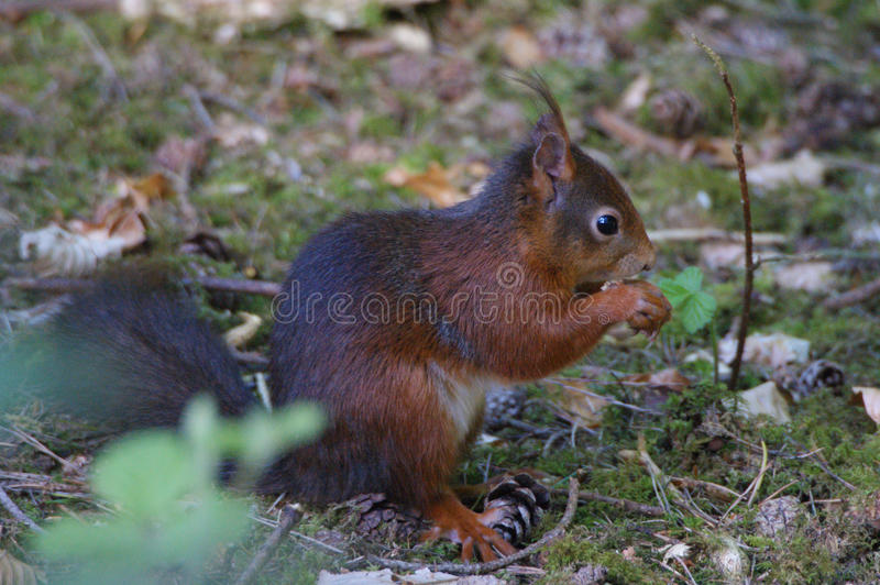 Red Squirrel. At Formby, Liverpool, UK stock photography