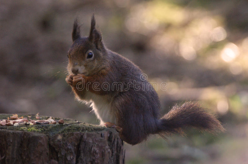 Red Squirrel. At Formby, Liverpool, UK royalty free stock photos