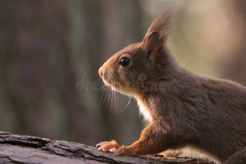 Red Squirrel. At Formby, Liverpool, UK royalty free stock photo