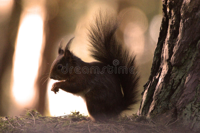 Red Squirrel. At Formby, Liverpool, UK stock photos