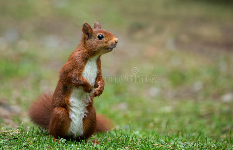 Download Red Squirrel stock photo. Image of grey, squirrel, pretty - 32576488